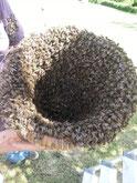 essaim d'abeilles récolté