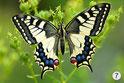 7 Schwalbenschwanz (Butterfly Peter, fotocommunity)