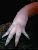 Patte avant dotée de 4 doigts