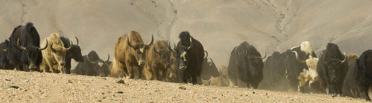 Ladakh, Zanskar, Reisen, Trekking, Bergsteigen, Yaks, Leh
