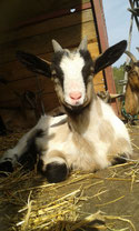 Hilpert's Höfle Babyziege Ziege Aus Liebe zum Tier und zu Dir! Ziegenfrischkäse aus handgemolkener Ziegenmilch, tagfrisch von der Weide