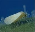 Les mouches blanches (aleurodes)