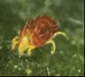 Les araignées (acariens)
