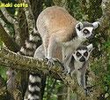 des lémuriens