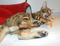 игрушки для бенгальских котят