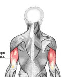 anatomie spieren triceps