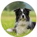 S-Hunde bis 45cm. Schwarzer Kleinpudel mit typischer Pudelfrisur