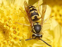 Wikipedia: echte Wespen