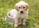 un chiot labrador créme assis dans sa gamelle par coach canin 16 édcateur canin en charente