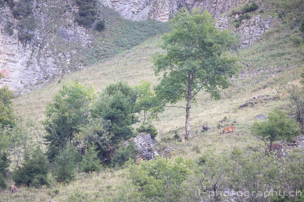 Hirsche während der Brunftzeit im Berner Oberland.