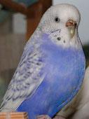 australischer Schecke, Spangle, violett, opalin (Sky)
