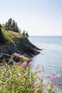Photo été bord de mer fleurs roses mauves Gaspésie Québec Canada par Marie Deschene photographe Pakolla