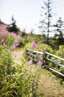 Photo été chemin fleurs roses mauves Gaspésie Québec Canada par Marie Deschene photographe Pakolla