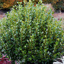 Griselinia littoralis 'Green Horizon'®