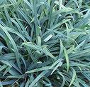 Carex laxiculmis 'Bunny Blue' ®