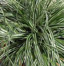 Carex oshimensis EverColor® 'Everest'
