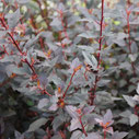 Physocarpus opulifolius 'Little Joker' ®