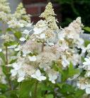 Hydrangea paniculata 'Confetti'®