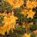 Azalea knap-hill Golden Fare
