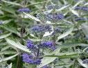 Caryopteris x clandonensis 'Sterling silver'®