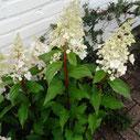 Hydrangea paniculata 'Candlelight'®