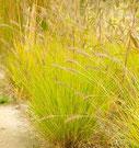 Pennisetum alopecuroides 'Hameln Gold' ®
