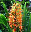 Hedychium aurantiacum Orange