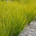 Lomandra longifolia 'Tanika'®