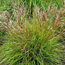 Miscanthus sinensis 'Cute One' ®