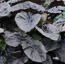 Colocasia esculenta 'Kona Coffee'®