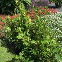 Griselinia littoralis 'Redge'®