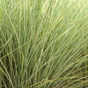 Miscanthus sinensis 'Morning Bright' ®