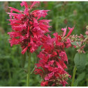 Agastache mexicana 'Red Fortune' ®