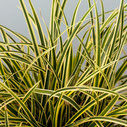Carex morrowii 'Vanille Ice'