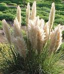 Cortaderia selloana 'Pumila'