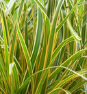 Carex morrowii 'Everglow' ®