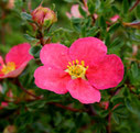 Potentilla fruticosa 'Danny Boy' ®