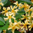 Trachelospermum jasminoides 'Star of Toscane'®