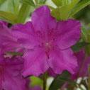 Azalea japonica Blue Danube
