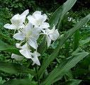 Hedychium aurantiacum Blanc