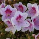 Azalea japonica 'Ho Oden'