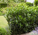 Prunus laurocerasus 'Obelisk'®