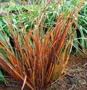 Libertia ixioides 'Taupo Sunset'®