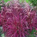 Pennisetum setaceum 'Fireworks'  ®