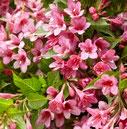 Weigela Picobella Rosa ®