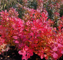 Cotinus coggygria 'Old fashioned'®