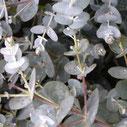 Eucalyptus gunnii 'Silverana' ®