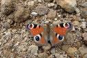 八ヶ岳 高山蝶