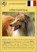 fiche chien identite race colley poil long origine comportement caractere poil sante