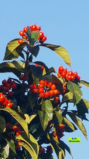 Herbstliches Farbenspektakel mit glänzend grünen Blättern und den leuchtendroten Beeren der Eberesche/Vogelbeere vor einem strahlendblauen Himmel über Hannover von K.D. Michaelis
